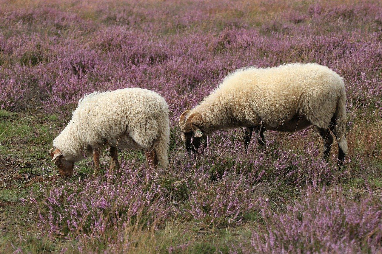 sheep, cattle, graze